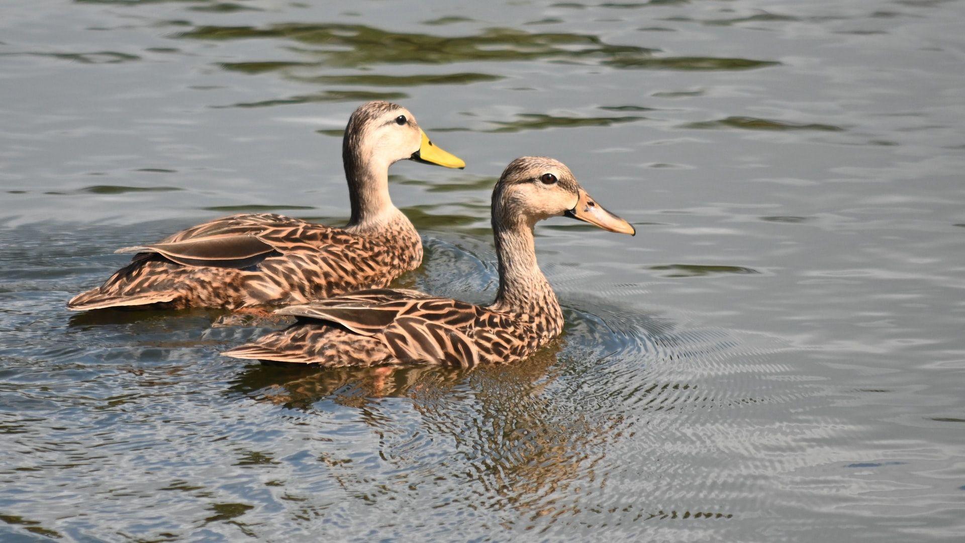 Ducks at Bonita Bay