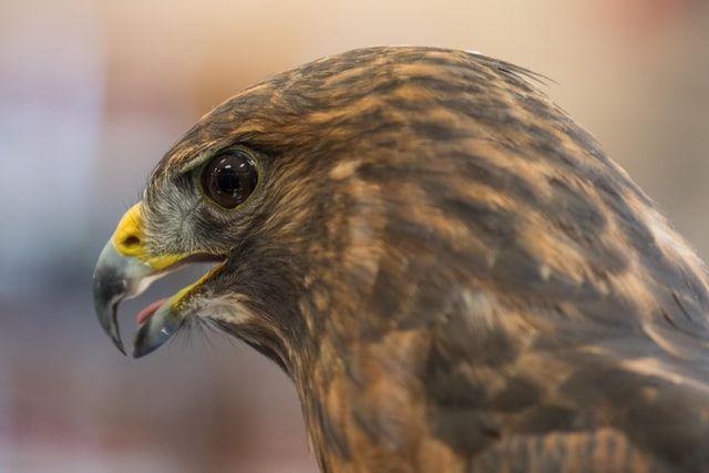 Broadwing Hawk in Matagorda, TX