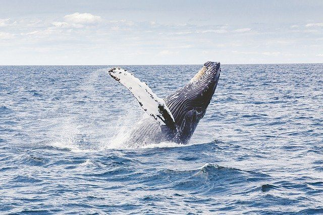 Humpback whale surfacing from the blue sea