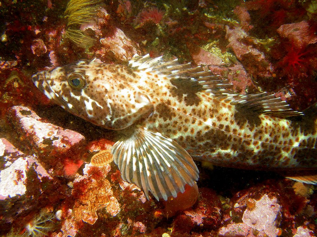 """""""Lingcod"""" by Ed Bierman is licensed under CC BY 2.0"""