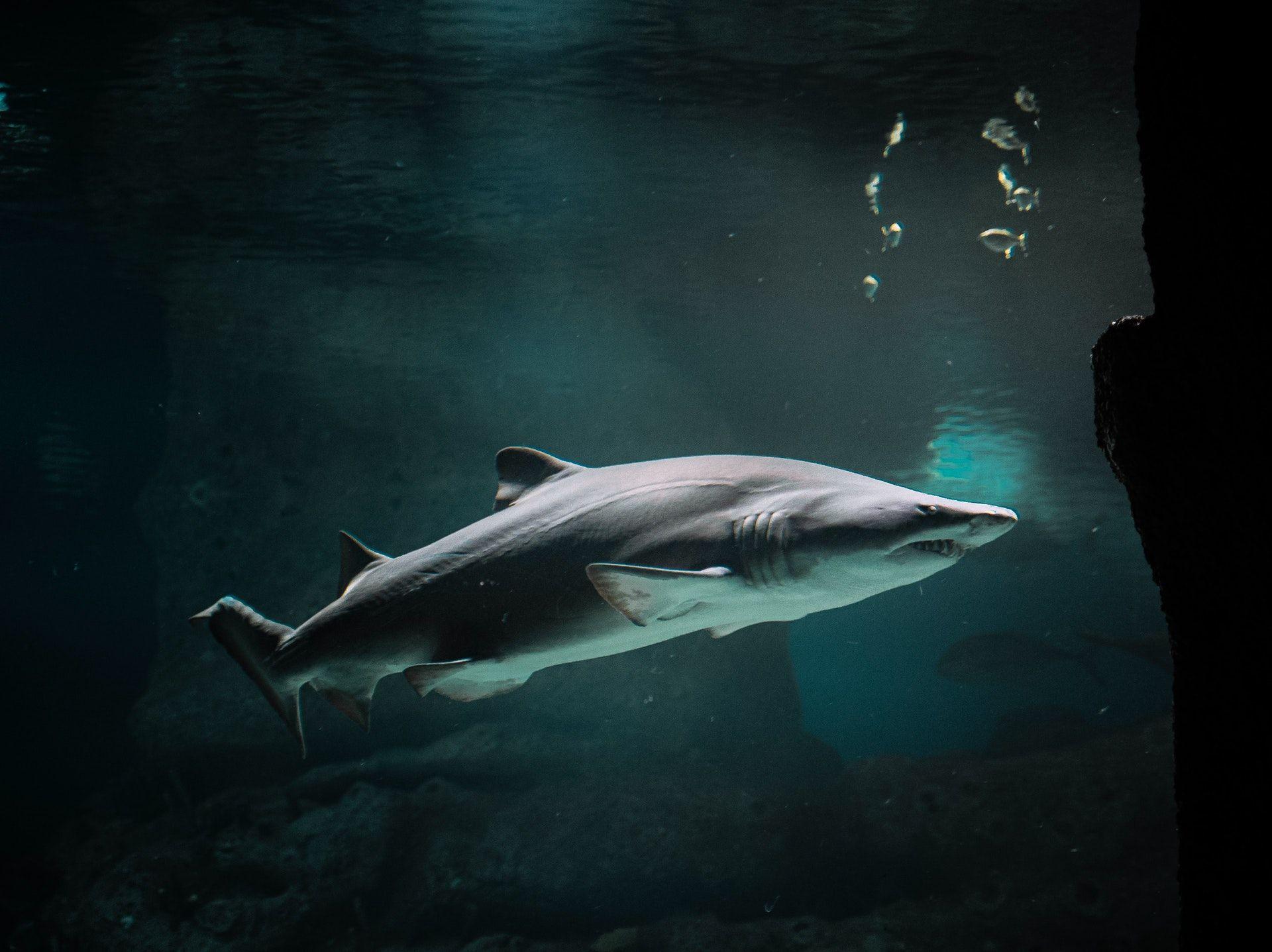 Short Fin Mako Shark in Montauk NY waters