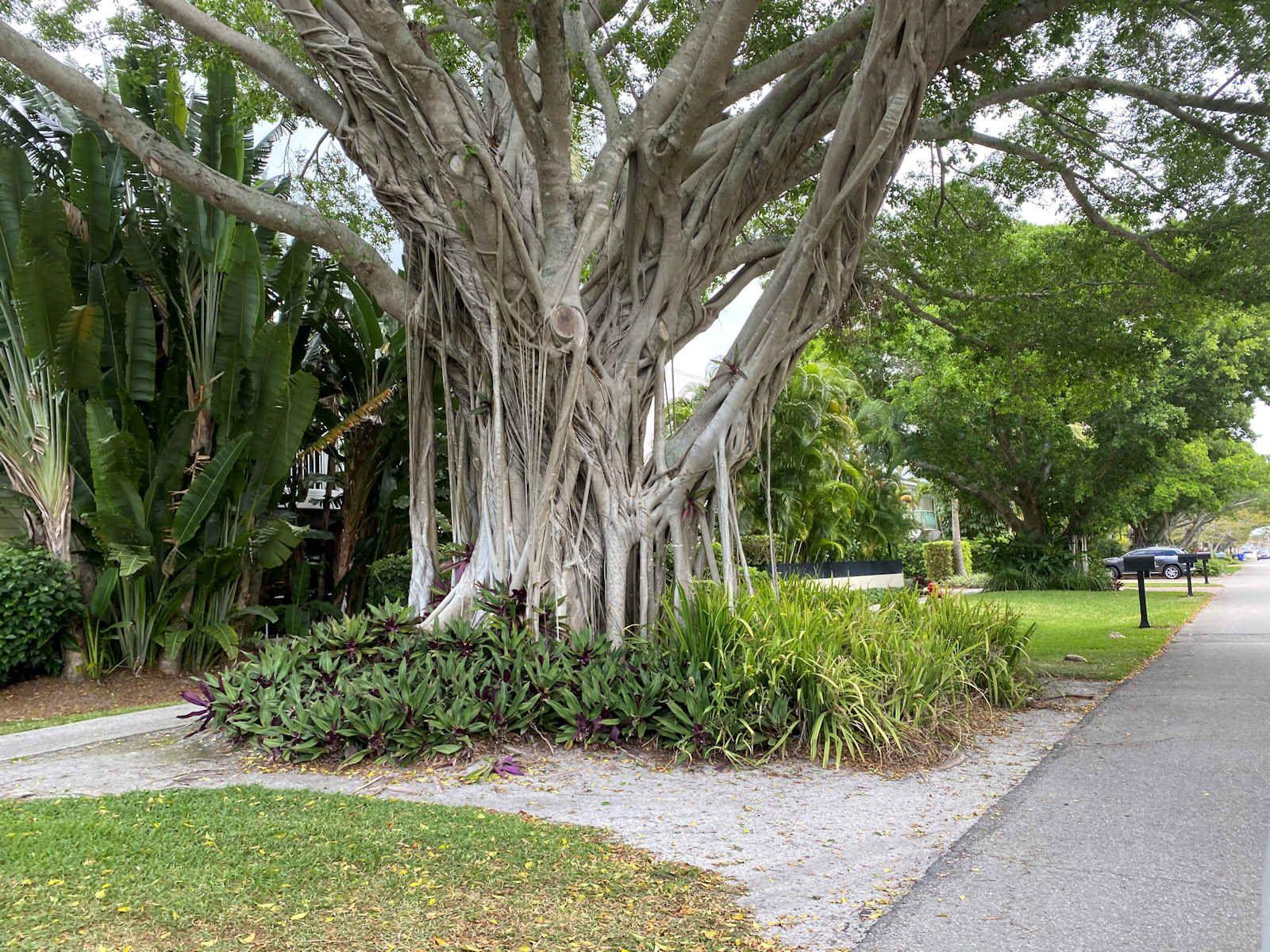 Old Naples Tree