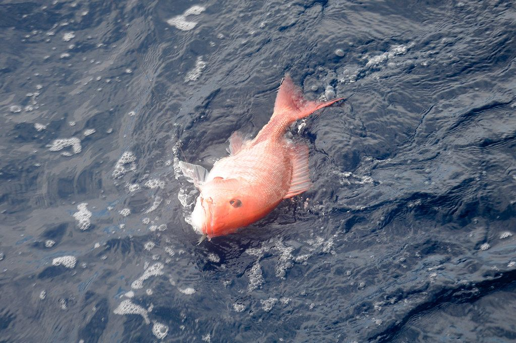 One red snapper on the surface of the water