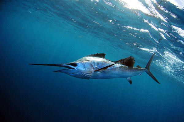 Sailfish in blue ocean water