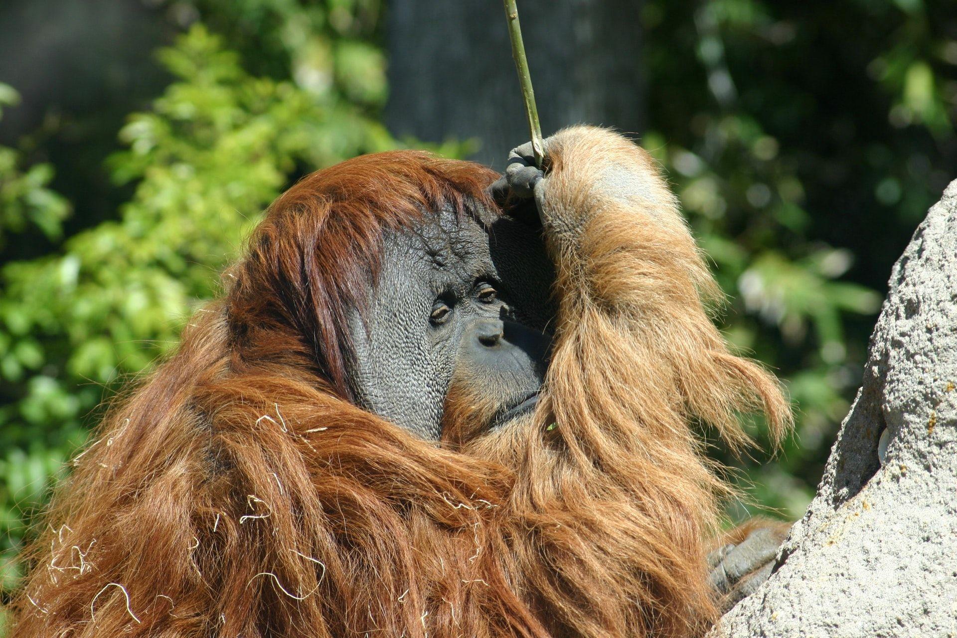 San Diego Zoo Orangutan