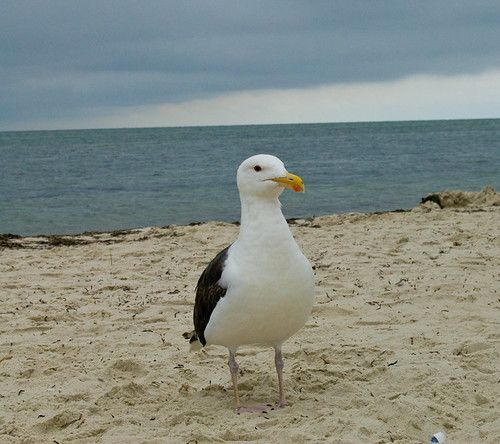 """""""A Seagull at seagull beach"""" by cbgrfx123 is licensed under CC BY-SA 2.0"""