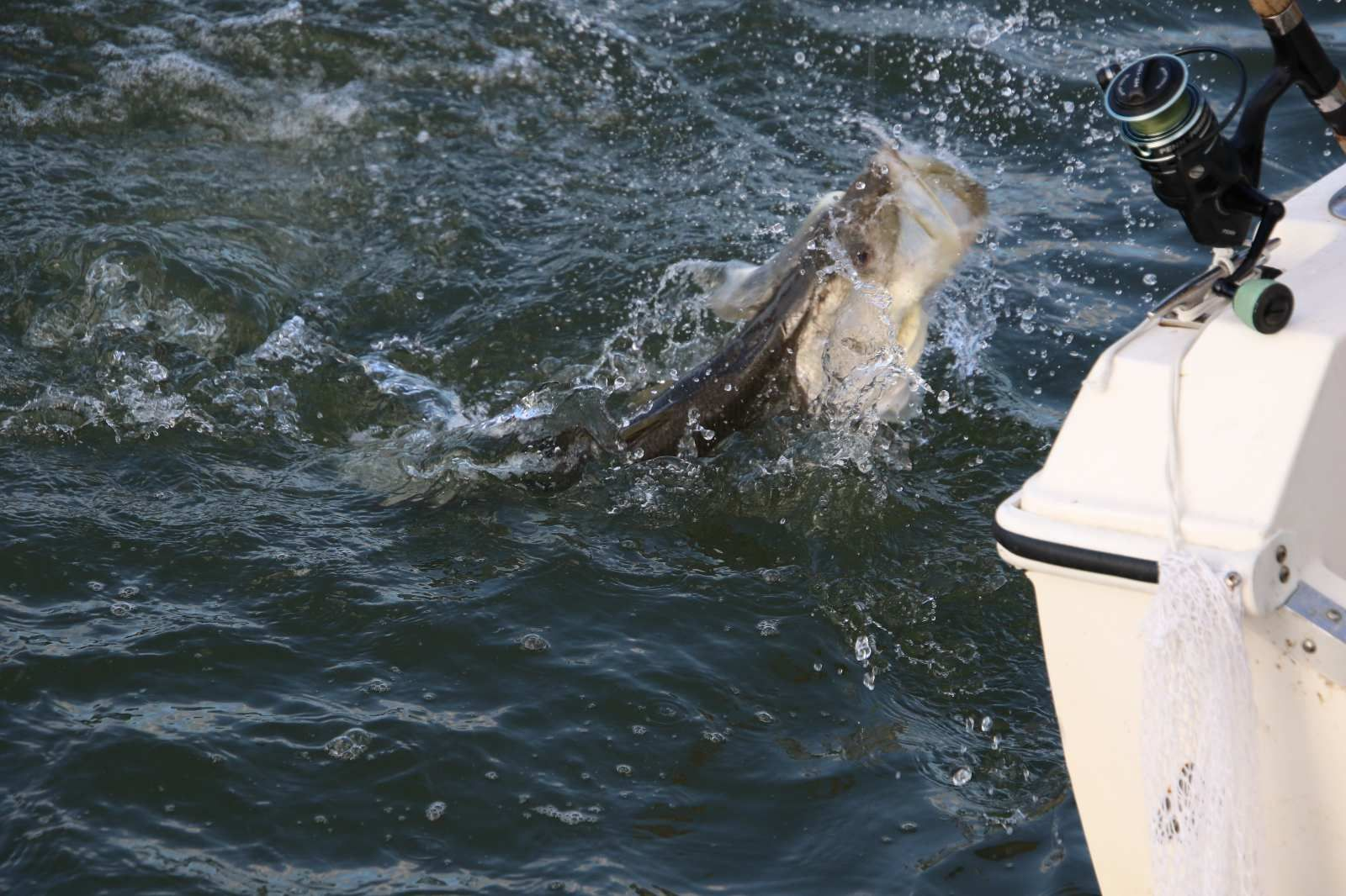 Snook Jumping During Fight